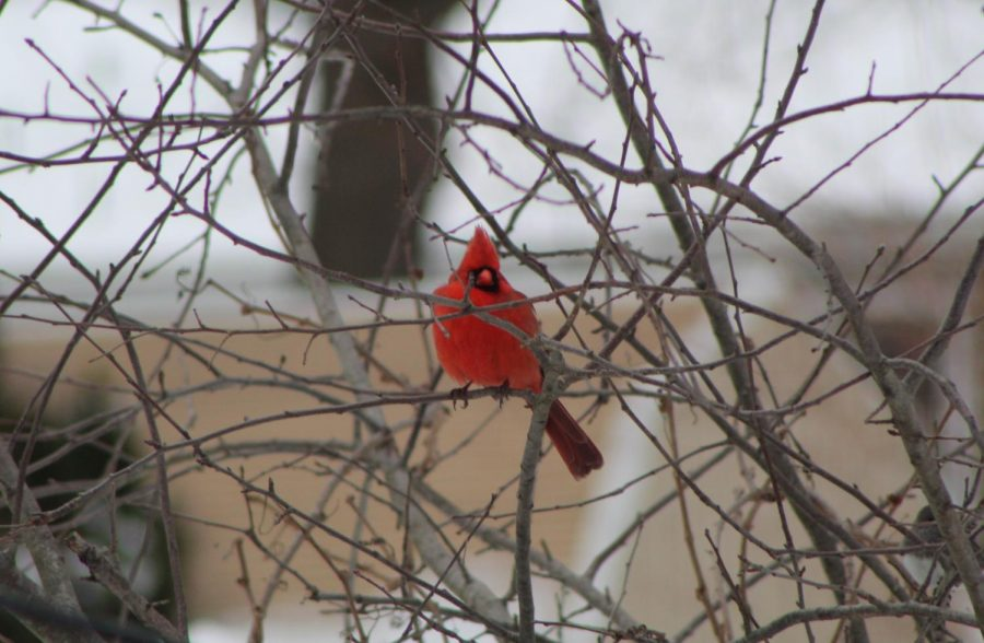 The+Northern+Cardinal+Sits+Peacefully